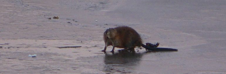 Muskrat Spotted on the Ice at Kent Lake Michigan