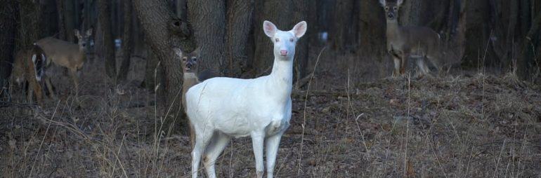 Rare Albino Deer at Kent Lake Milford Michigan